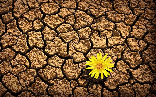 Fiore giallo che sboccia in un terreno arido